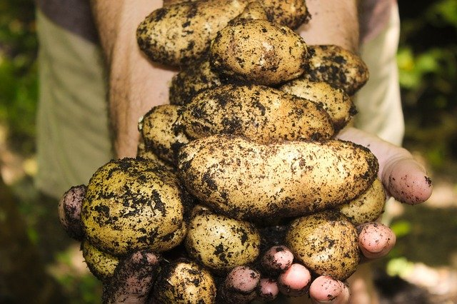 brambory na dlani