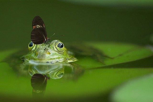 žába v rybníce